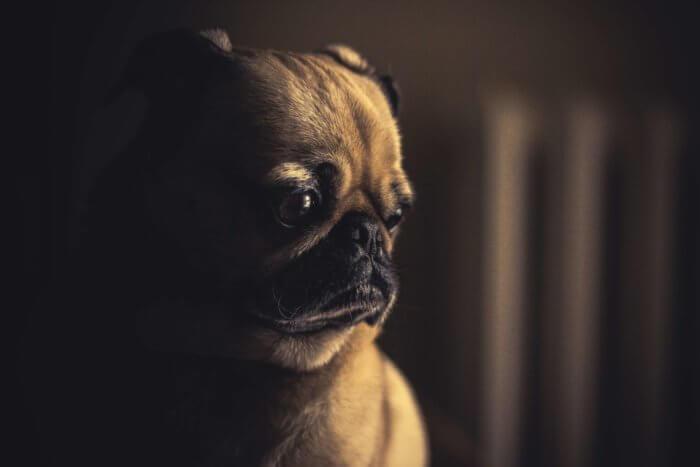 A small sad brown puppy.